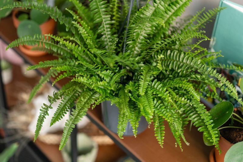 Close up of a kimberly queen fern on a shelf.