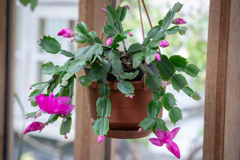 A Christmas cactus with pink flowers hangs in front of a window.