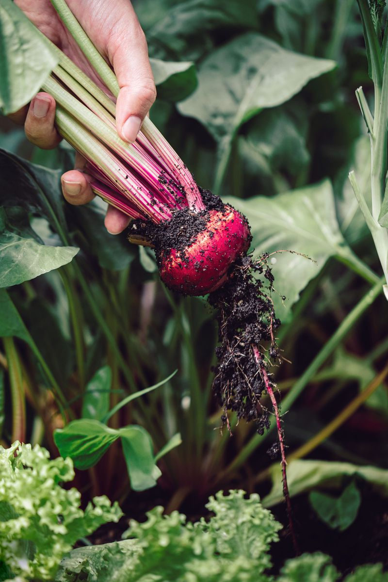 A hand pulling a bright red beet from a leafy green garden.