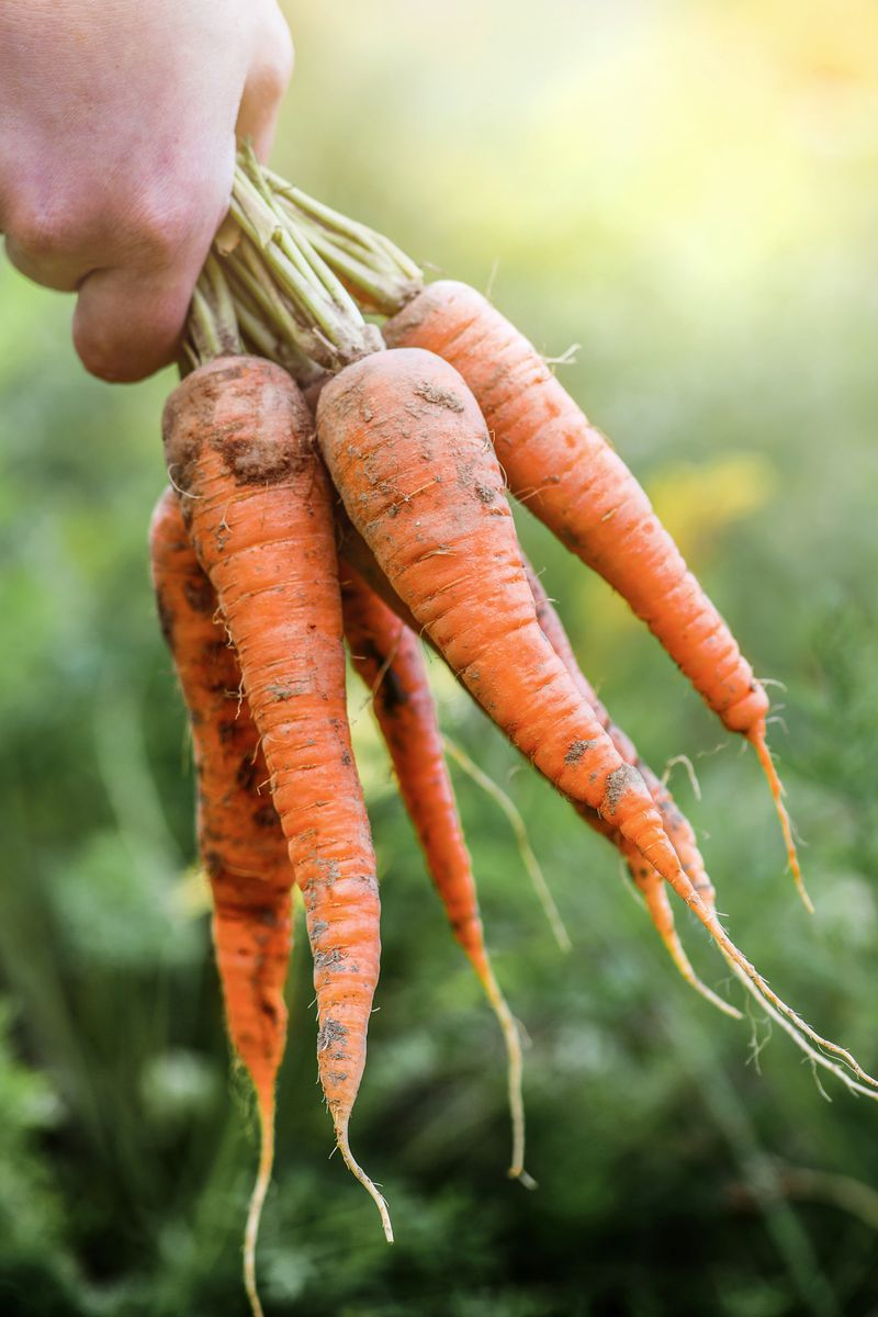 A hand holds six freshly picked carrots.
